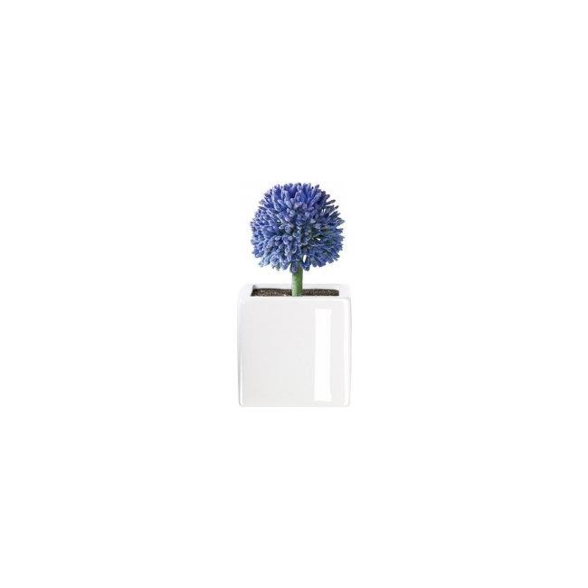 Sukulent Allium
