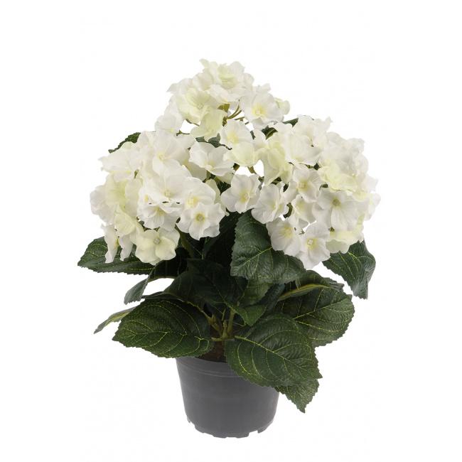 Kwiat hortensja biała w doniczce 30cm