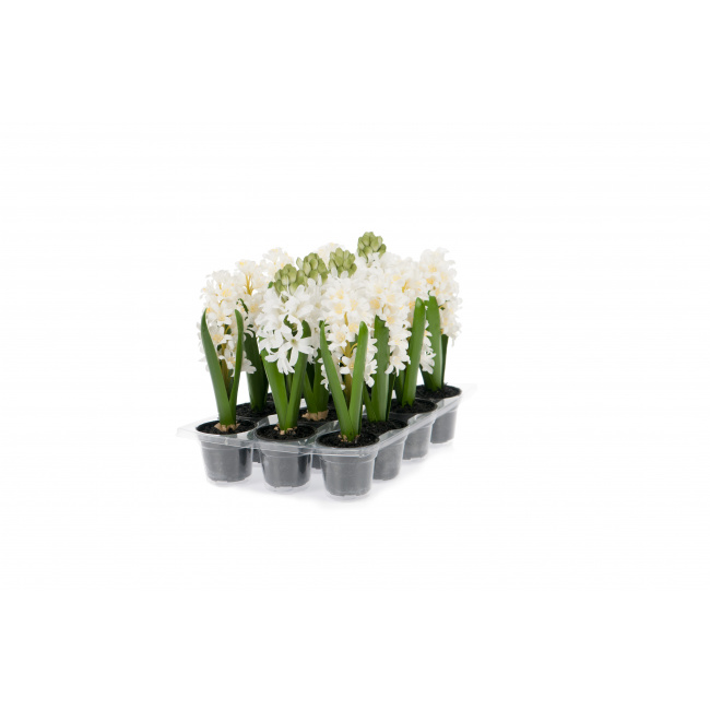 Kwiat hiacynt doniczka 23cm (1 sztuka mix)