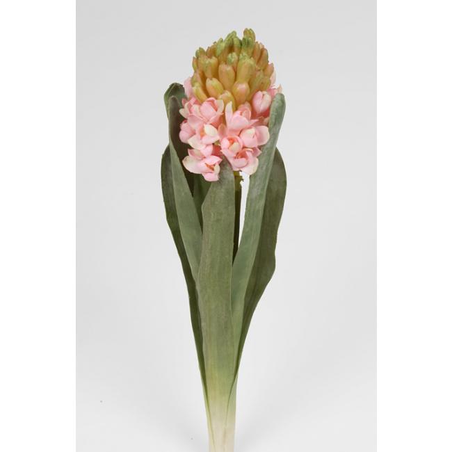 Kwiat hiacynt różowy