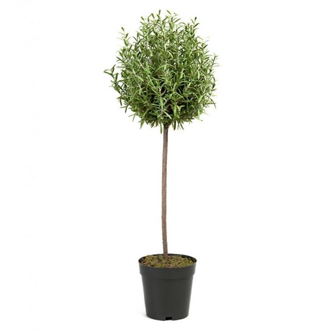 Drzewko Rozmaryn