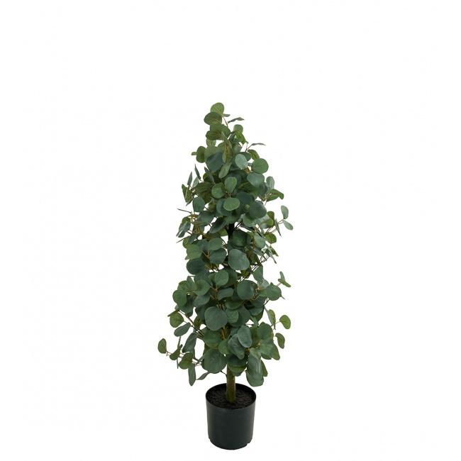Eukaliptus w doniczce 100cm