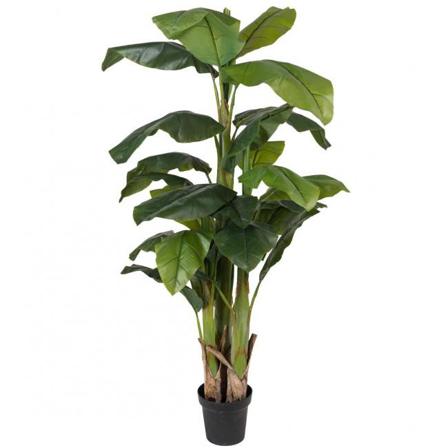 Drzewko bananowiec 240cm